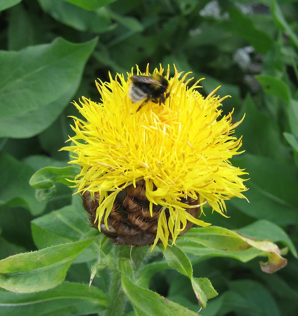 Yellow Thistle Like Flower Very Eye Catching Hotdiamond5 Flickr