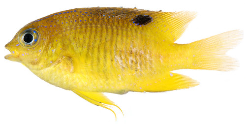 Stegastes diencaeus, Juvenile (Longfin Damselfish) | by Smithsonian Institution