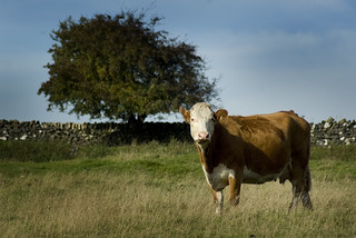 Brown Cow | by Sheffield Tiger