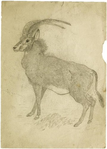 Antelope (pencil) | by peacay
