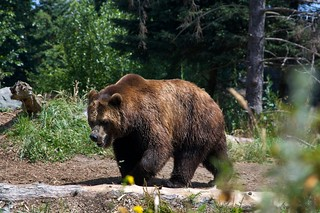 Brown Bear 1 | by 3dpete