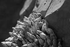 Gooseneck Barnacles & Stone | by The Hike Guy