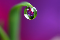 Dewdrop refraction #7 | by Lord V