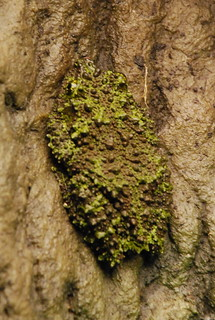 Vietnamese mossy frog (Theloderma corticale) | by afagen