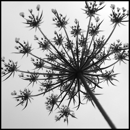 178-366b Queen Anne's Lace II | by amp'ed