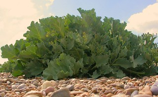 Sea Kale | by Nick Saltmarsh