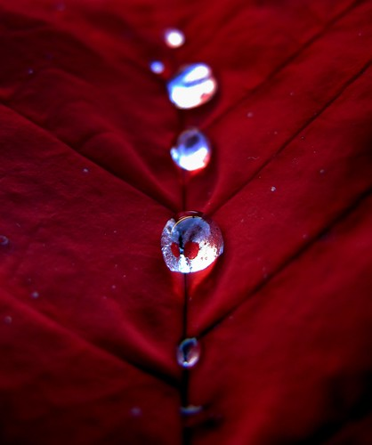 Poinsettia Water Drops | by peasap