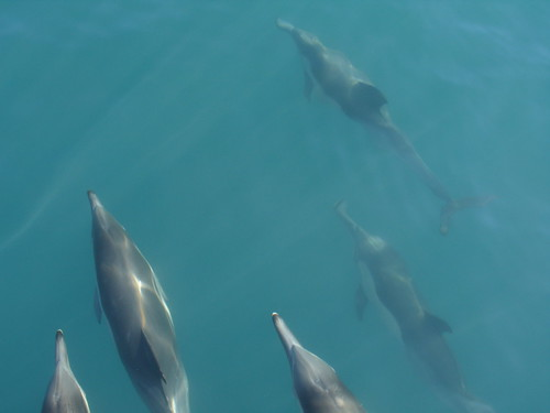 Long Beaked Common Dolphins | by cybele-