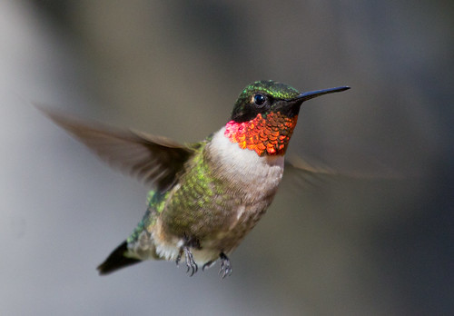 Ruby-throated Hummingbird | by Laura Erickson