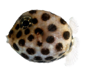 Ostraciidae, Juvenile (Boxfish) | by Smithsonian Institution