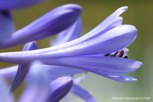 Agapanthus 1 | by pamela_henwood