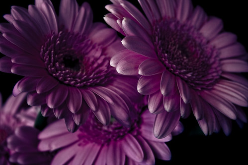 Gerbera | by Mr. Moog