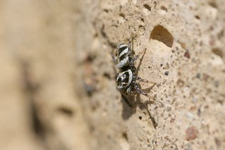 Zebra Jumping Spider (Salticus scenicus) | by sankax