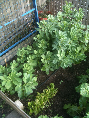 how to grow broad beans in melbourne