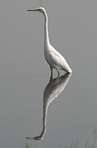 Great Egret | by Daryl Chapman Photography
