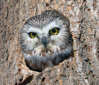 Northern Saw-whet Owl | by Laura Erickson