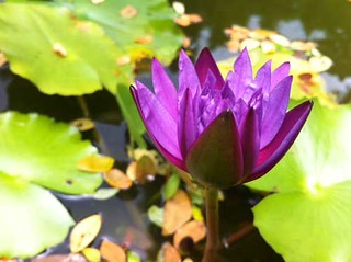 waterlily near halo niko | by alaya