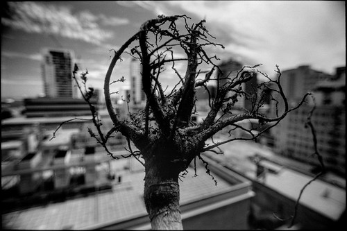 Bare Rooted #2 (o Christmas Tree)