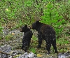 BLACK BEAR AND CUB--Drip-Dry or Spin Cycle? | by a walk on the wild side nature photography