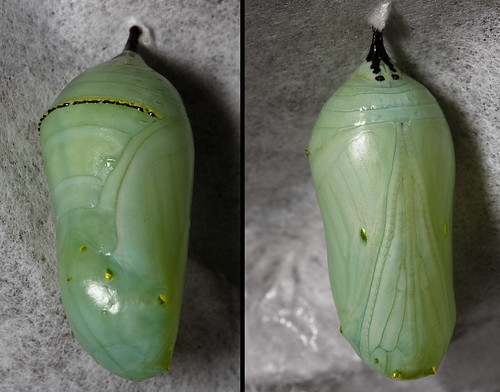 Monarch Chrysalis x2 | by eclectic echoes