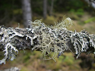 Lichen | by Blue Lotus