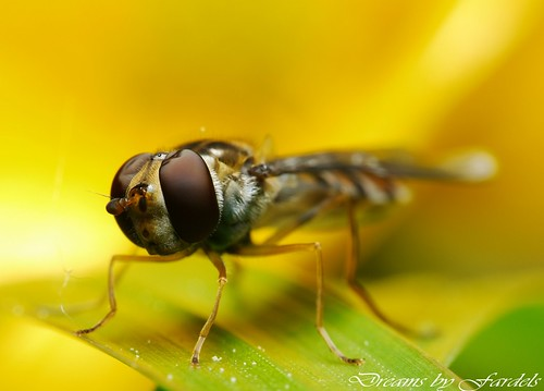 FLY GOLD - CERNIDORA CLOSE UP | by Fardels.