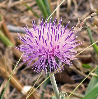Texas Thistle Close Up (Cirsium texanum) | by TX Dogwood