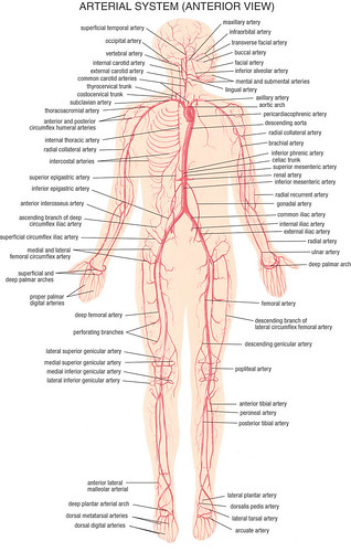 3020330644 on blood circulatory system diagram