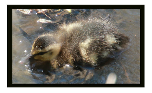 Fuzzy Duckling | by Supremecourtjester