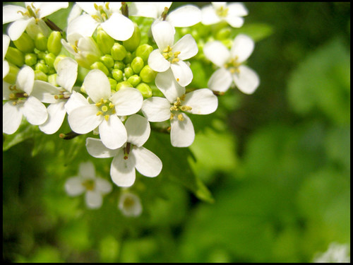 White 4 petal flowers susan bishop flickr white 4 petal flowers by chickadee32 mightylinksfo
