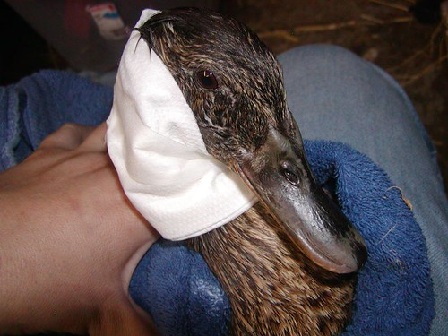 Momma Duck had hot oil dumped on her | by waterfowlrescue