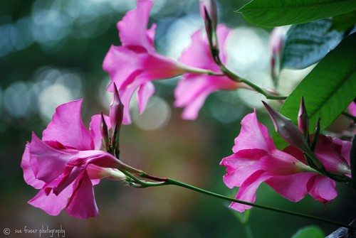 pretty pink trumpetokeh | by suesue2