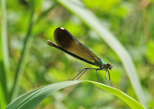 Calopteryx aequabilis (F) / River Jewelwing (F) | by alain.maire