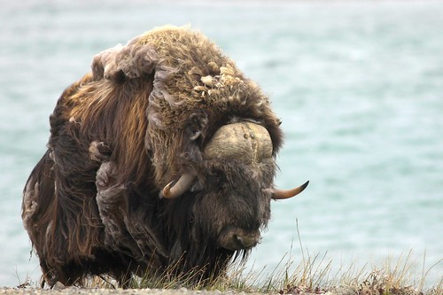 Muskox | by 1 RareBird
