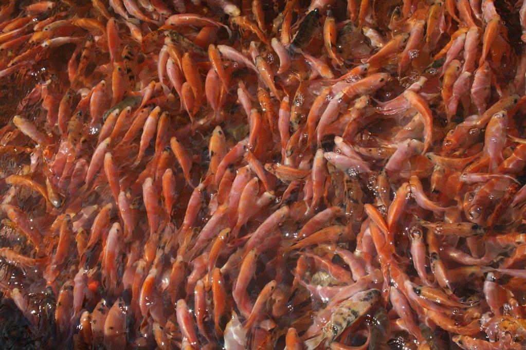 Bibit Ikan Nila Berat 15grams