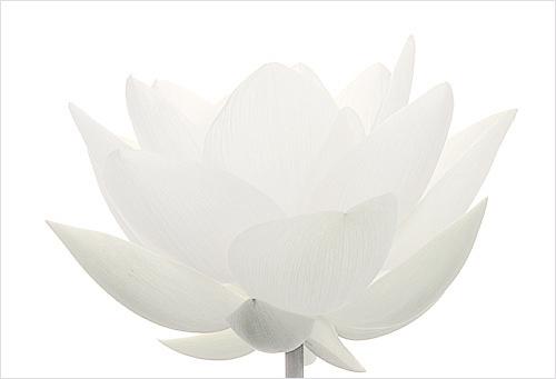 white lotus flower macro white on white lotus white lo flickr