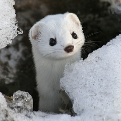 Baby Weasel Will Steal Your Soul | by DiscoWeasel