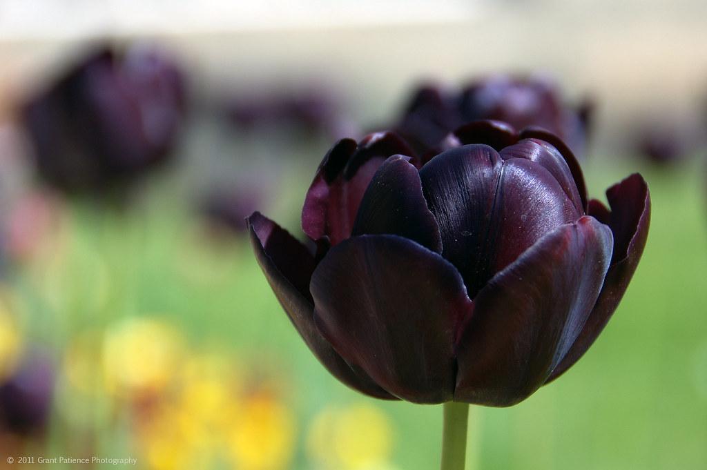 dark purple tulip a lovely deep purple tulip at edinburgh flickr