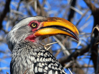 Southern Yellow-billed Hornbill, (Tockus leucomelas) | by Arno Meintjes Wildlife