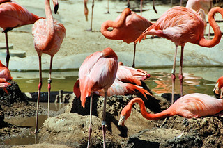 Tangle of Flamingos | by EmperorNorton47