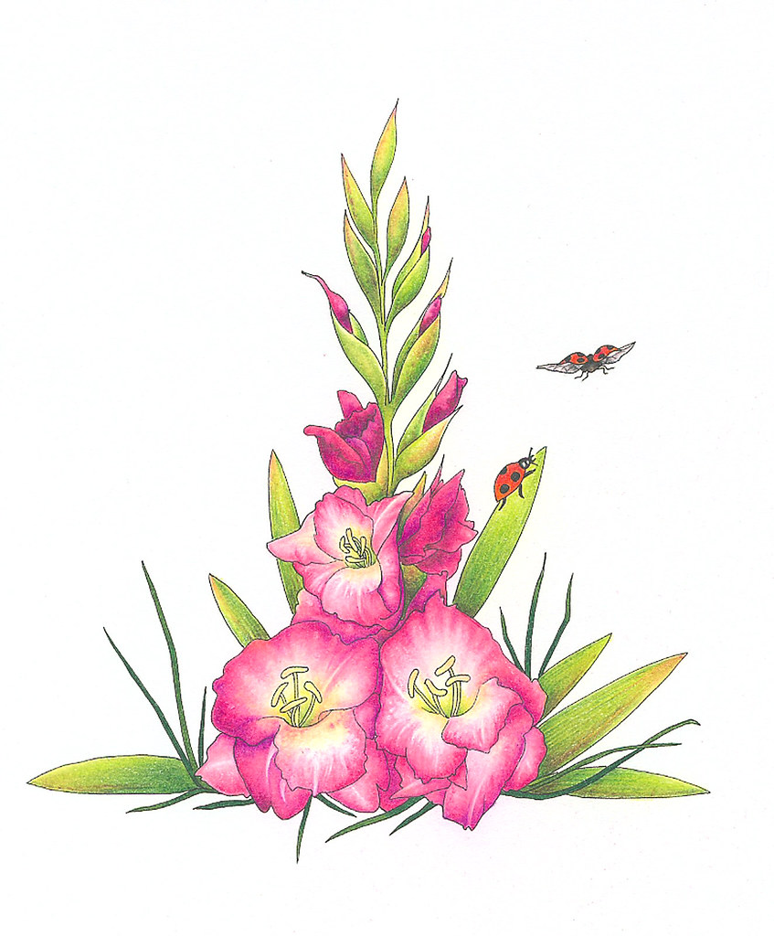 gladiola august flower of the month and ladybirds gladiola flickr