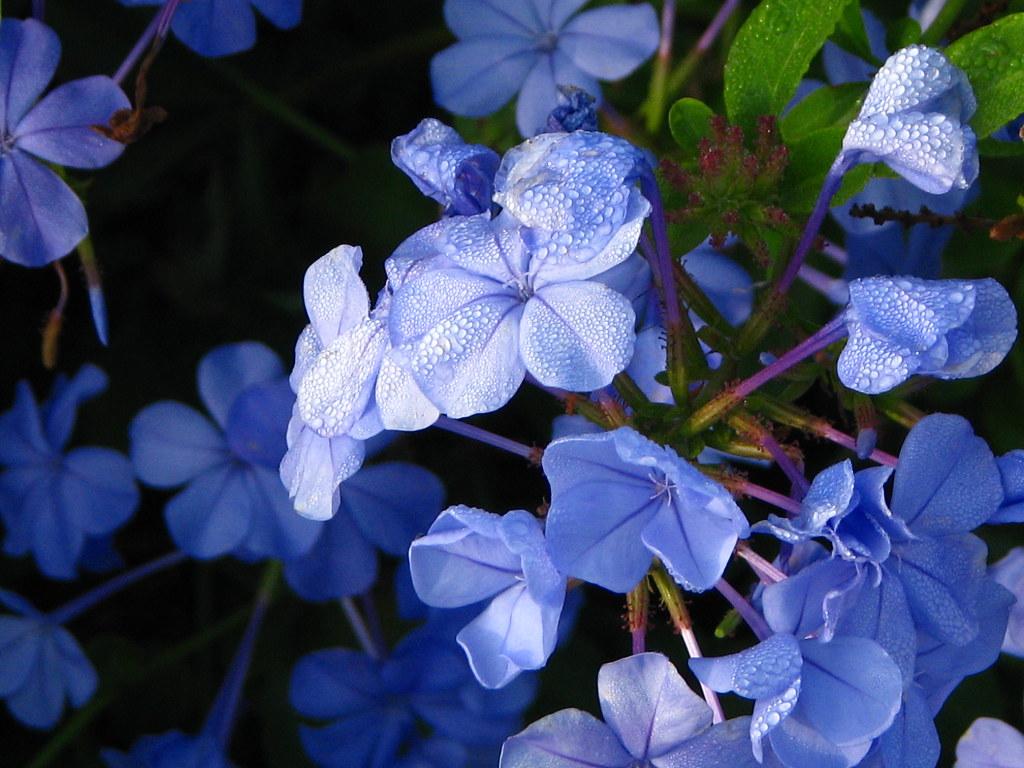 Misty Blue Misty Blue I Remembered Hbw Please View Flickr