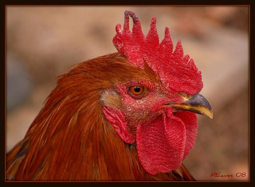 Red Rooster | by MEaves