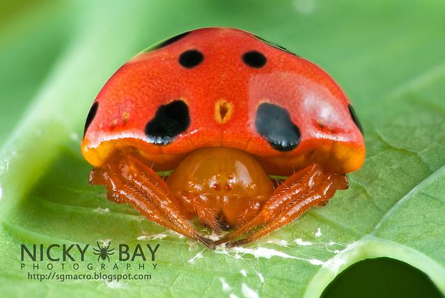 Ladybird Mimic Spider (Paraplectana sp.) - DSC_8843