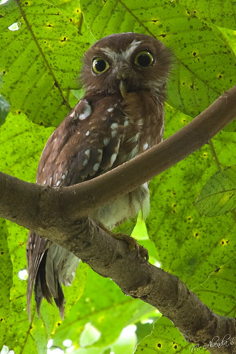 Philippine Hawk-Owl | Mt. Makiling Los Baños, Laguna ...