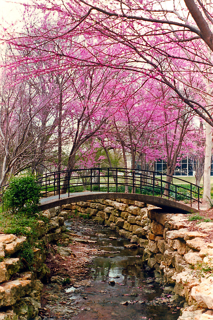 bridge redbuds fort worth botanical gardens by stevenm_61 - Japanese Garden Cherry Blossom Bridge