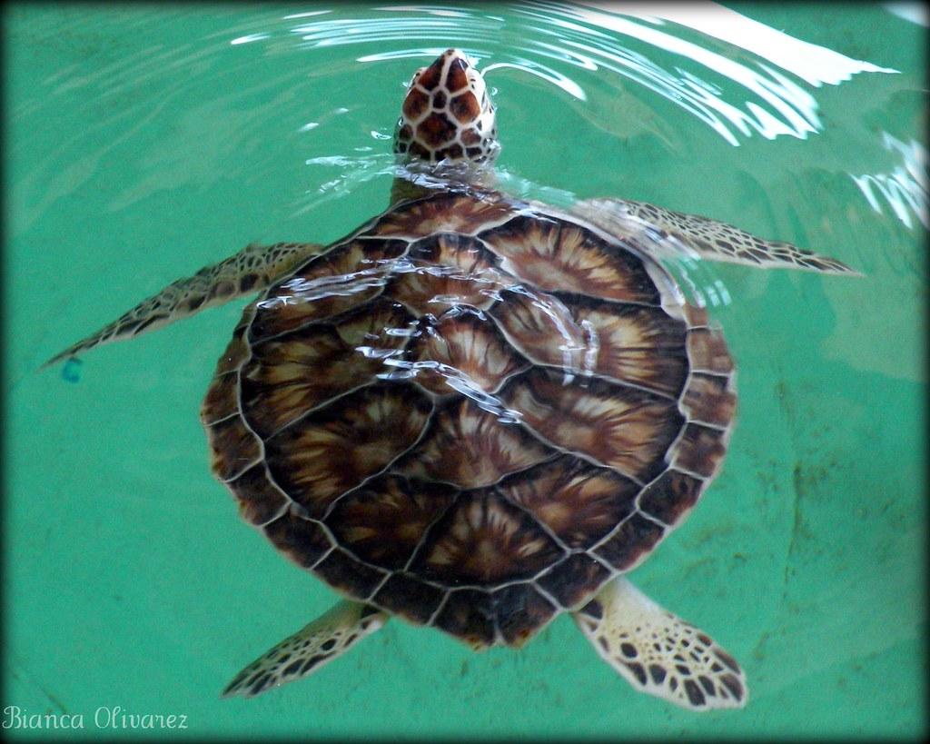 atlantic green sea turtle green sea turtle tortuga blanca u2026 flickr