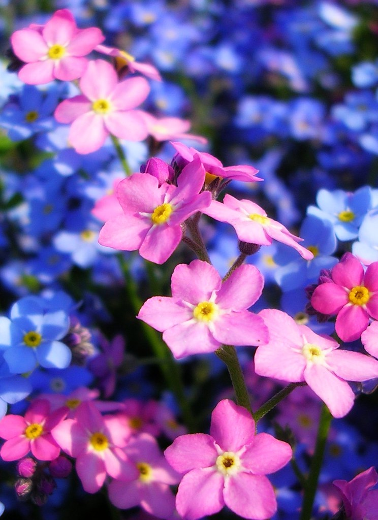 Forget me not flowers i saw these tiny pink ones in amongs flickr forget me not flowers by lisaluvz mightylinksfo