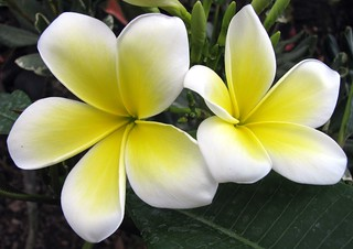 plumeria | by itucker, thanks for 3.5+ million views!