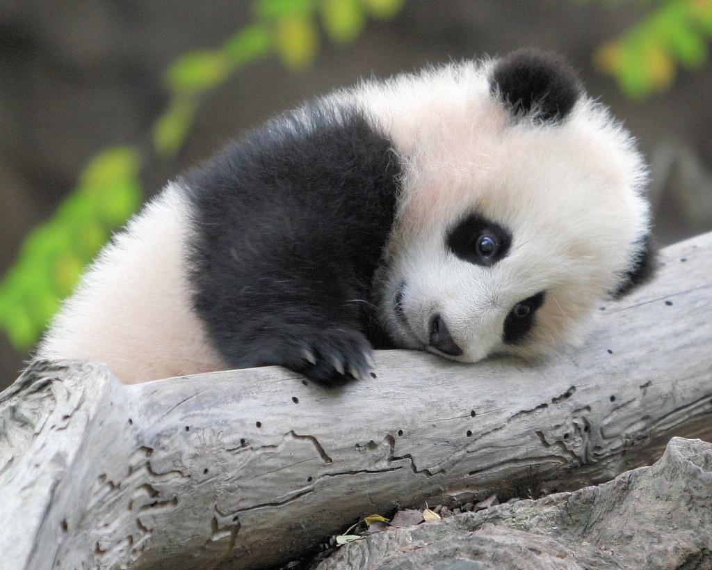 一生懸命な赤ちゃんパンダ